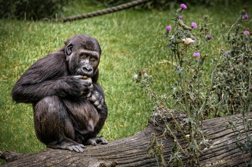 gorilla-001