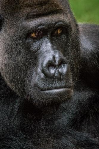 gorilla-004