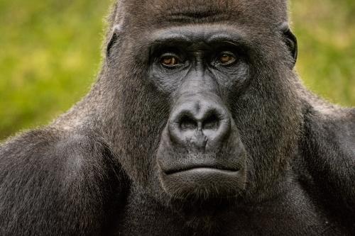 gorilla-005