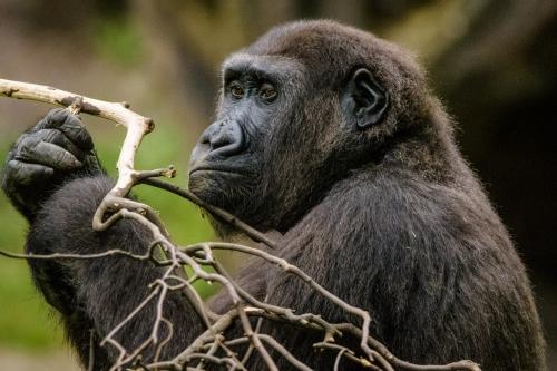 gorilla-006