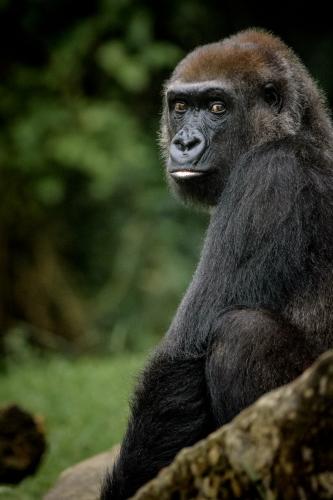 gorilla-007