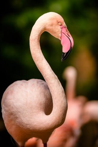 flamingo-004