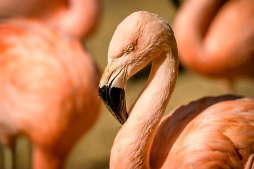 flamingo-008